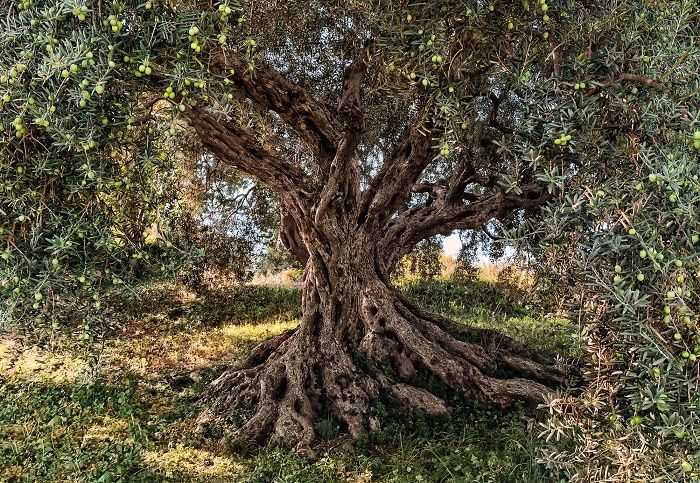 olive tree national geographic wall mural wallpaper homewallmurals. Black Bedroom Furniture Sets. Home Design Ideas