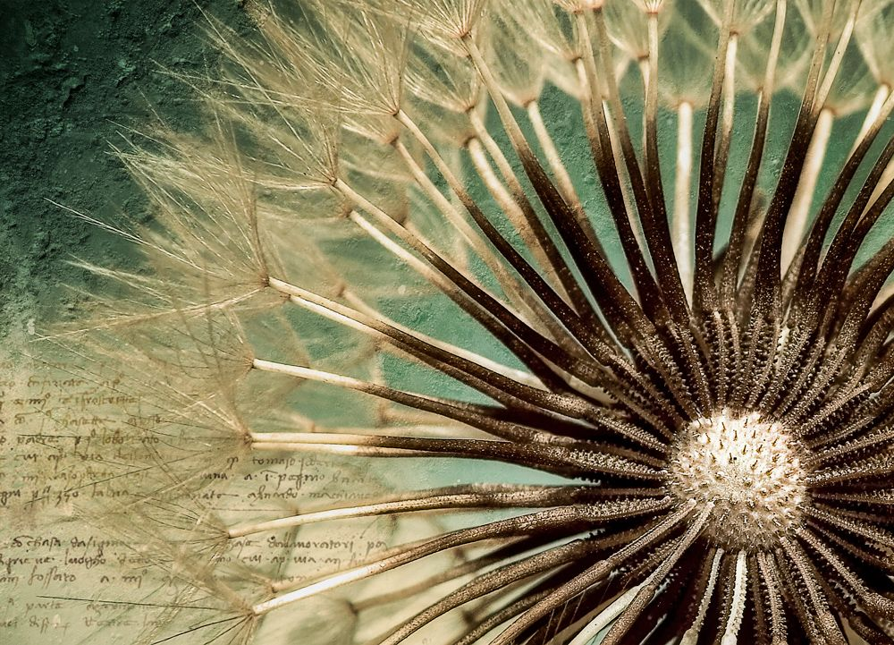 Close up of dandelion seed photo wallpaper murals for Dandelion wall mural
