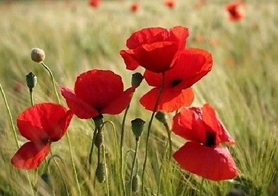 Wall mural RED POPPY FLOWERS photo wallpaper Large size wall art 254 x 183cm