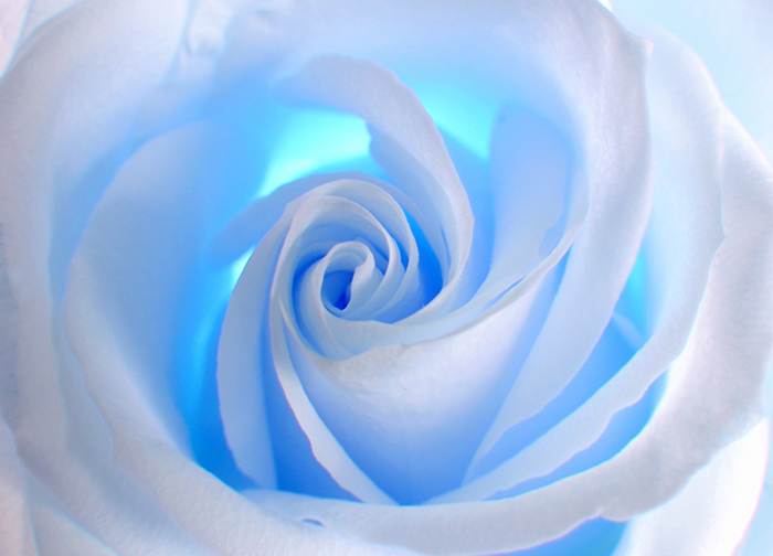 White and blue rose wallpaper murals