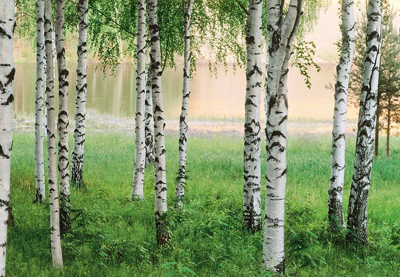 Wall Mural photo Wallpaper WHITE forest birch trees 366x254cm for
